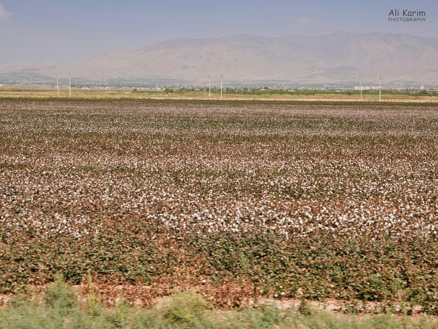 Dushanbe, Tajikistan Lots of cotton farming; a leftover from the Soviet days