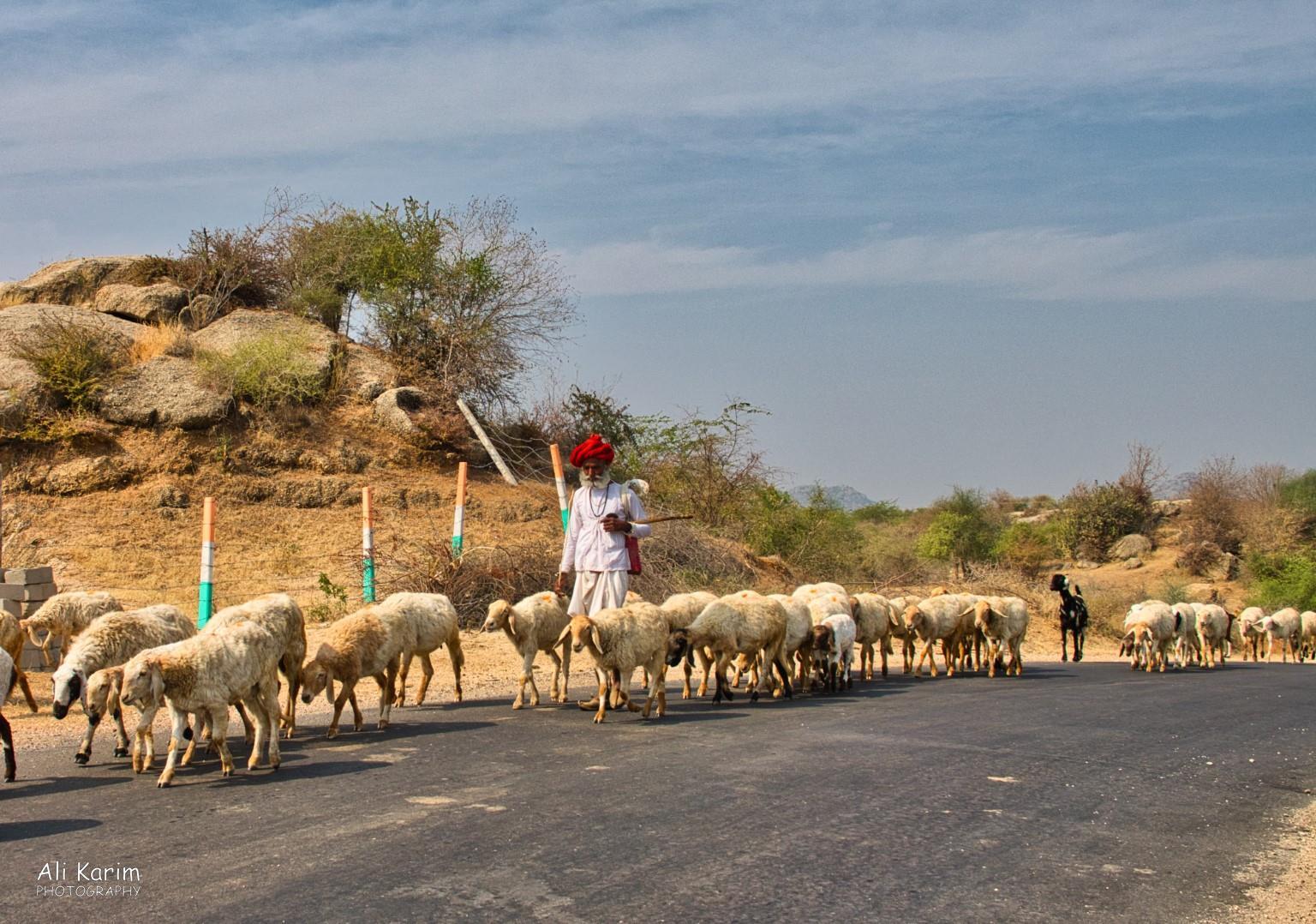 Leopards, Bera, Rajasthan Rabari shepherd and his sheep