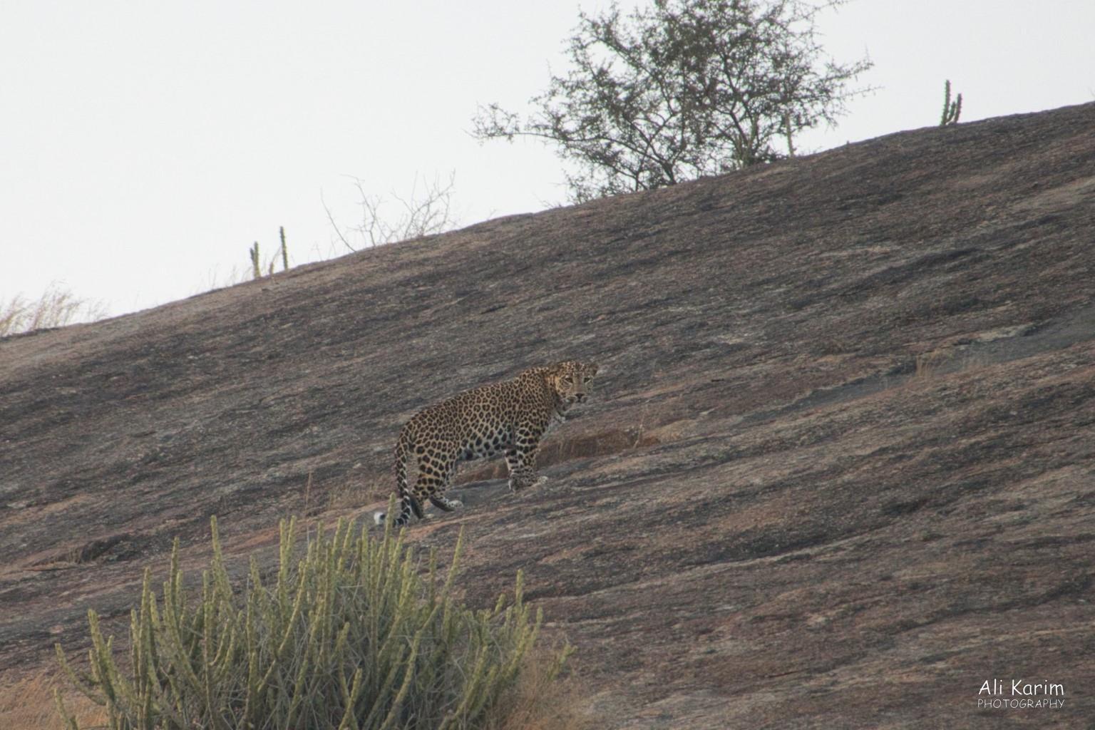 Leopards, Bera, Rajasthan Leopard