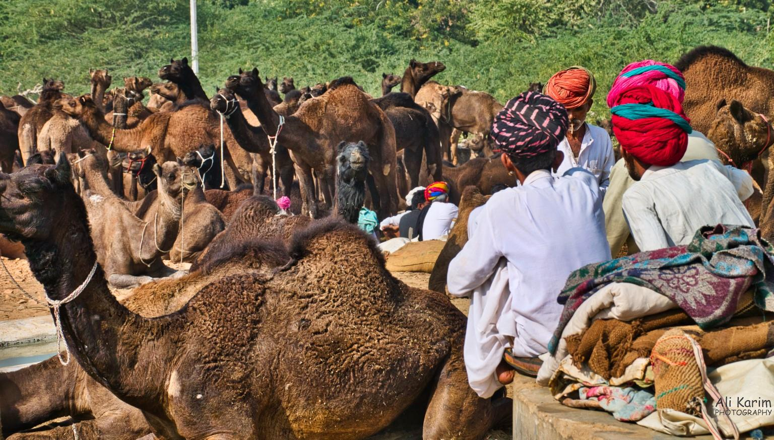Pushkar, Rajasthan Camels and owners