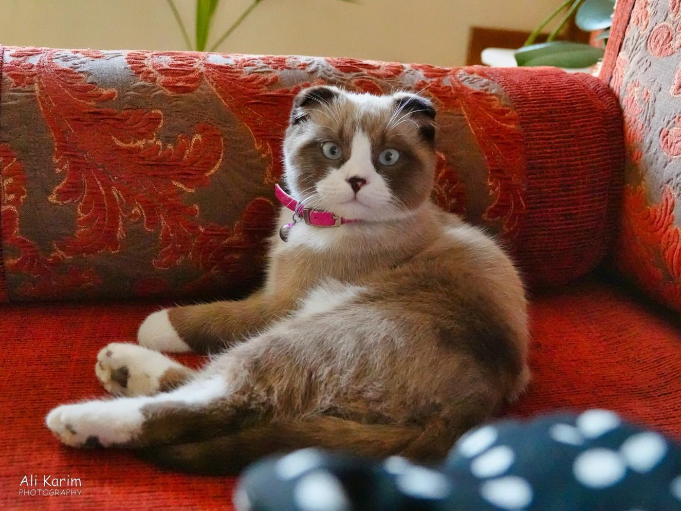 Bukhara, Oct 2019, The hotel's resident kitten was playful and energetic; but was a different family of cat to what we are familiar with; she was shorter, stouter and did not have long pointy ears. Anyone know this breed?