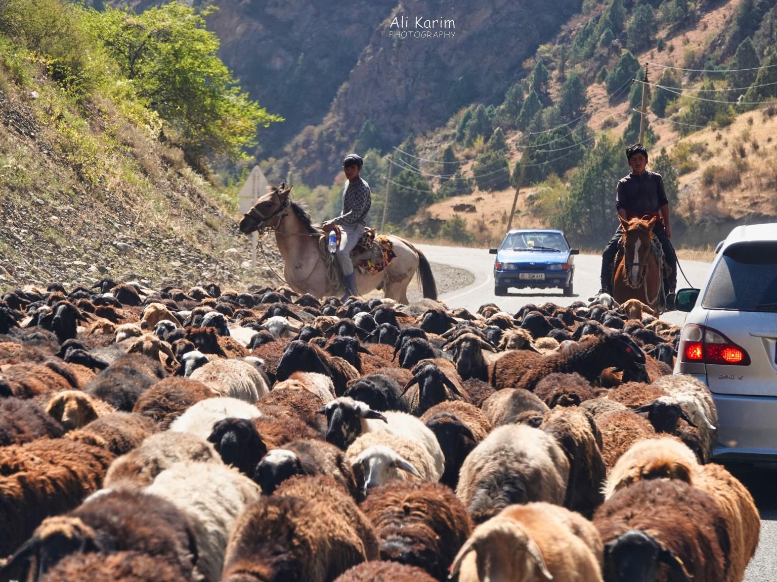 Silk Road 16: More Osh, Kyrgyzstan Sheep traffic jams