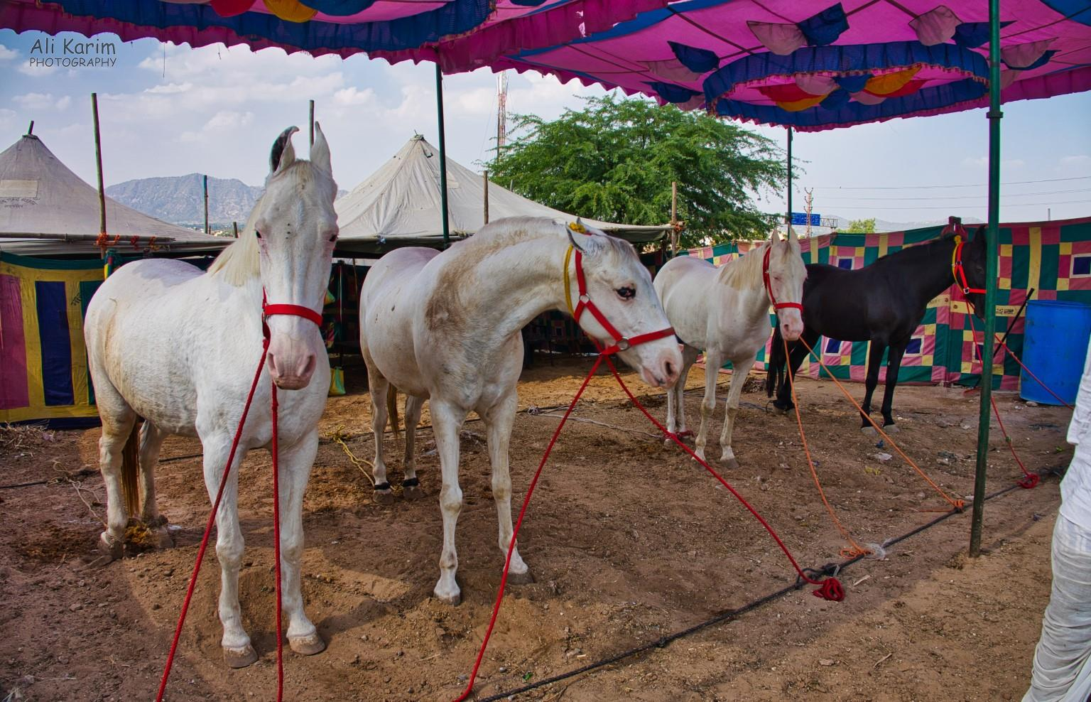 Pushkar, Rajasthan Prize horses being shown off; complete with sun protection canopy