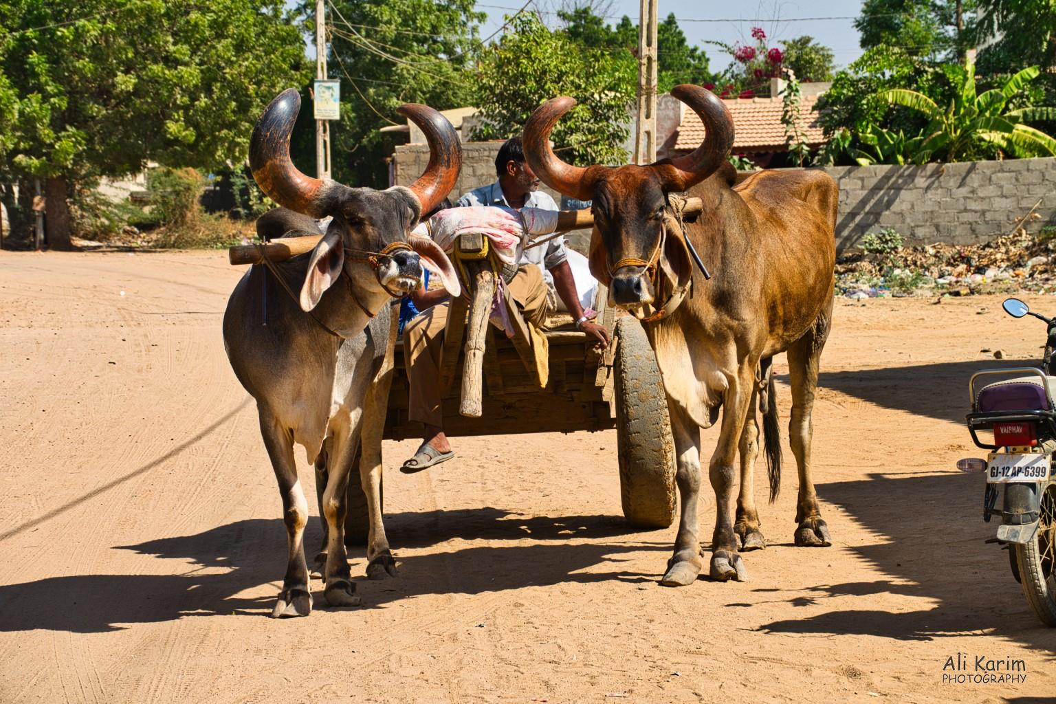 Bhuj, Kutch, Gujarat Horns
