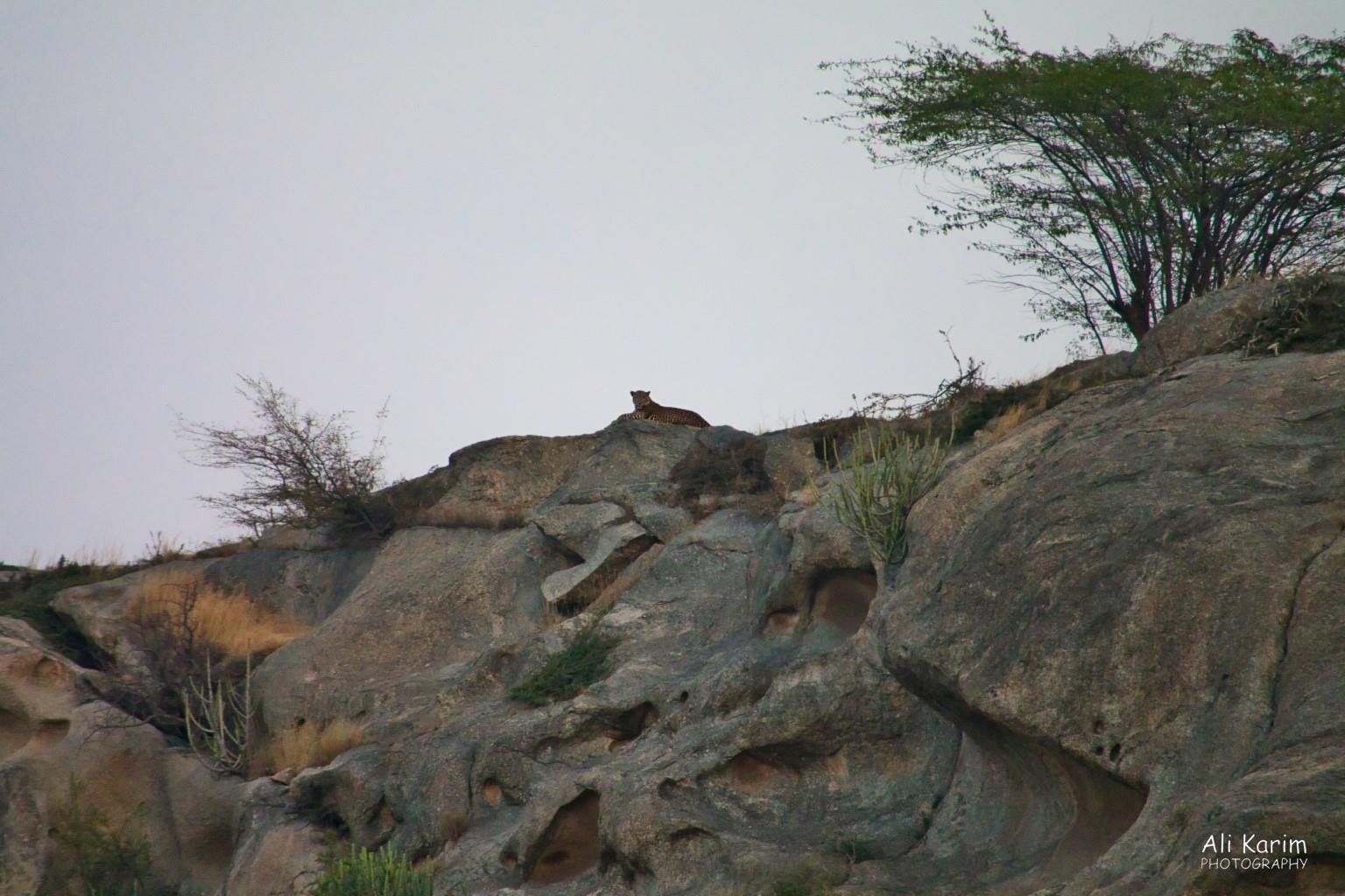 Leopards, Bera, Rajasthan Watching us from his strategic location