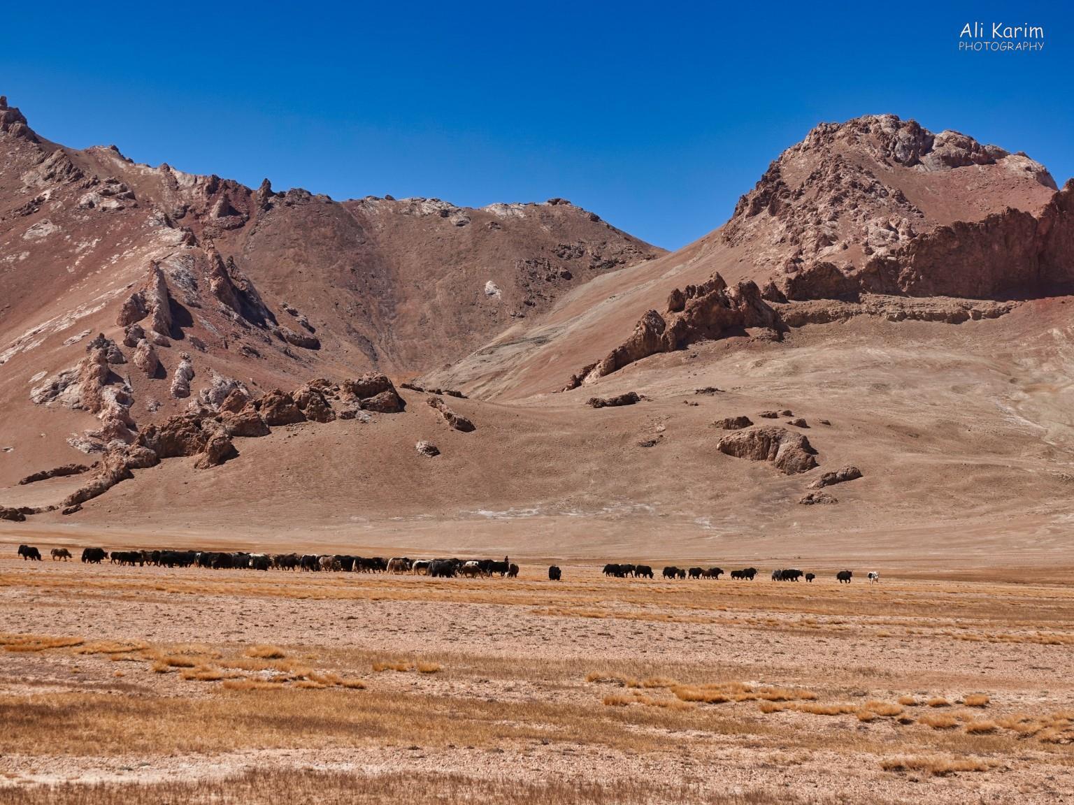 More Murghab & Alichur, Tajikistan, Yaks grazing with herdsman