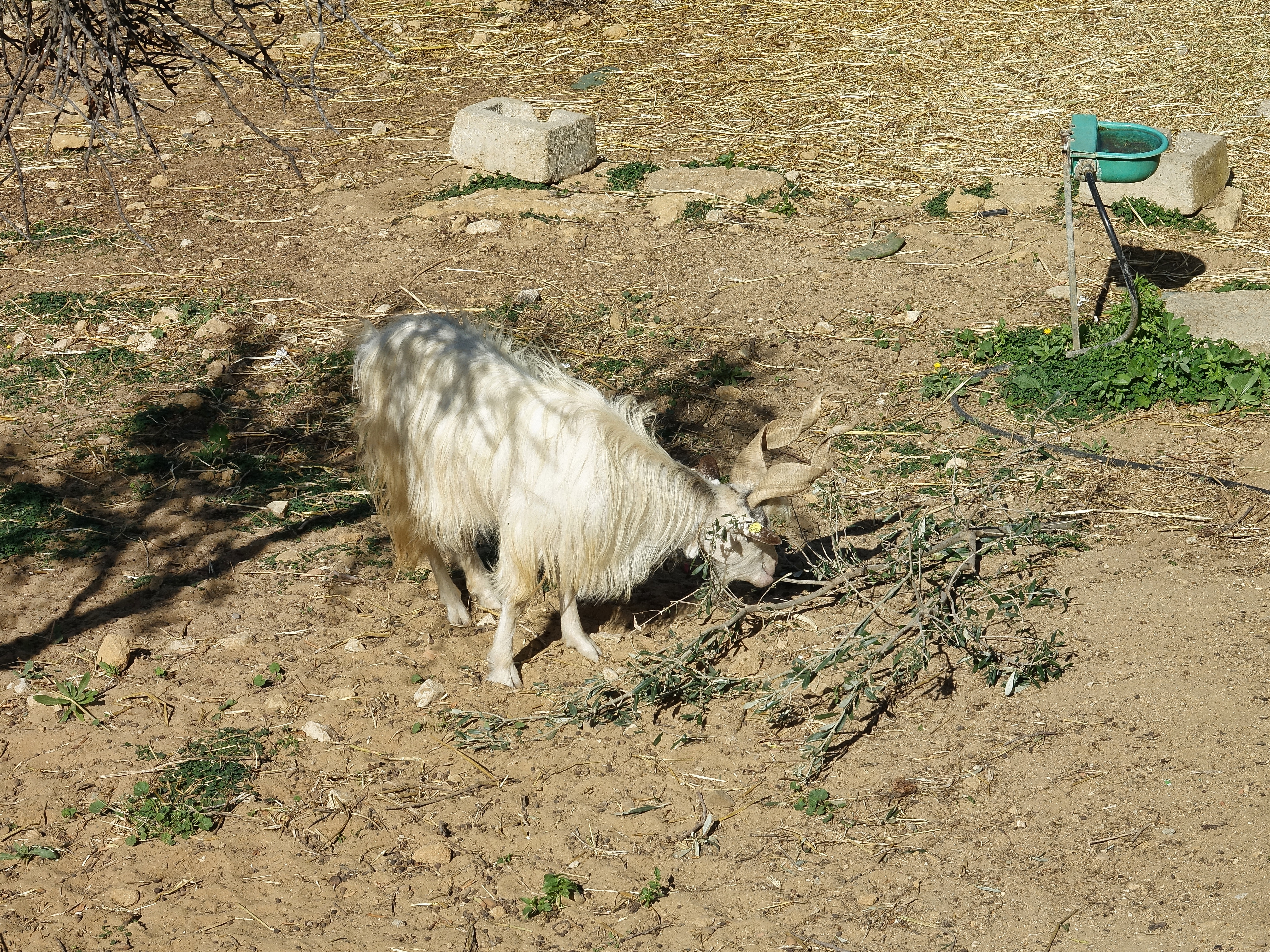 The local goats here are unique for the twisted/curved horns