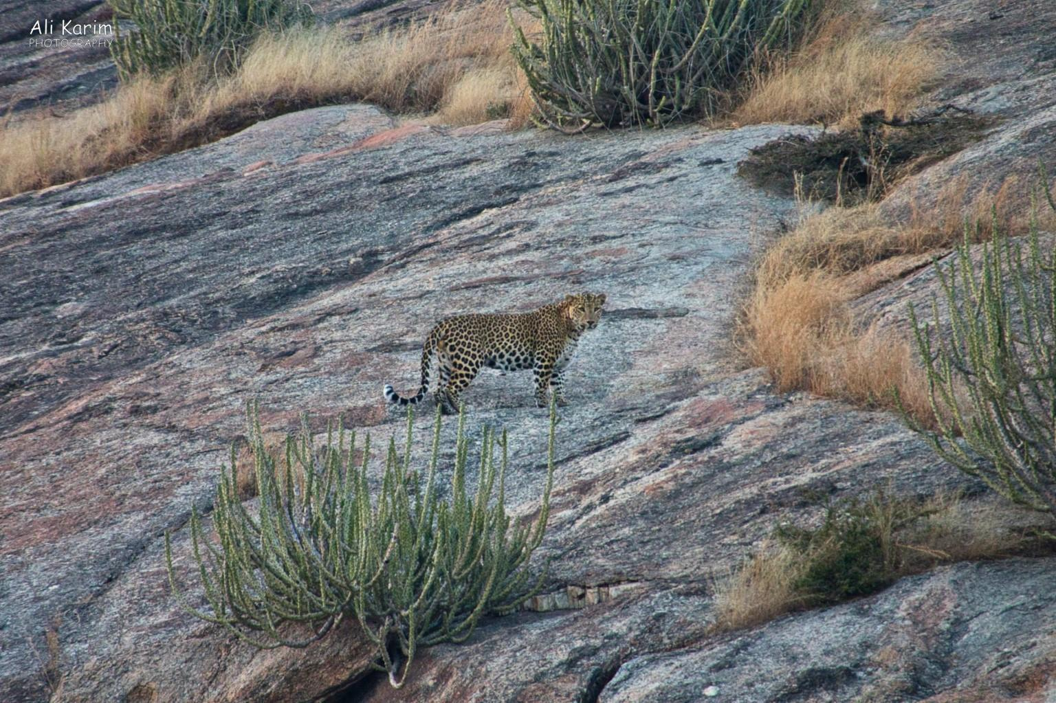 Leopards, Bera, Rajasthan and posed for us; beautiful