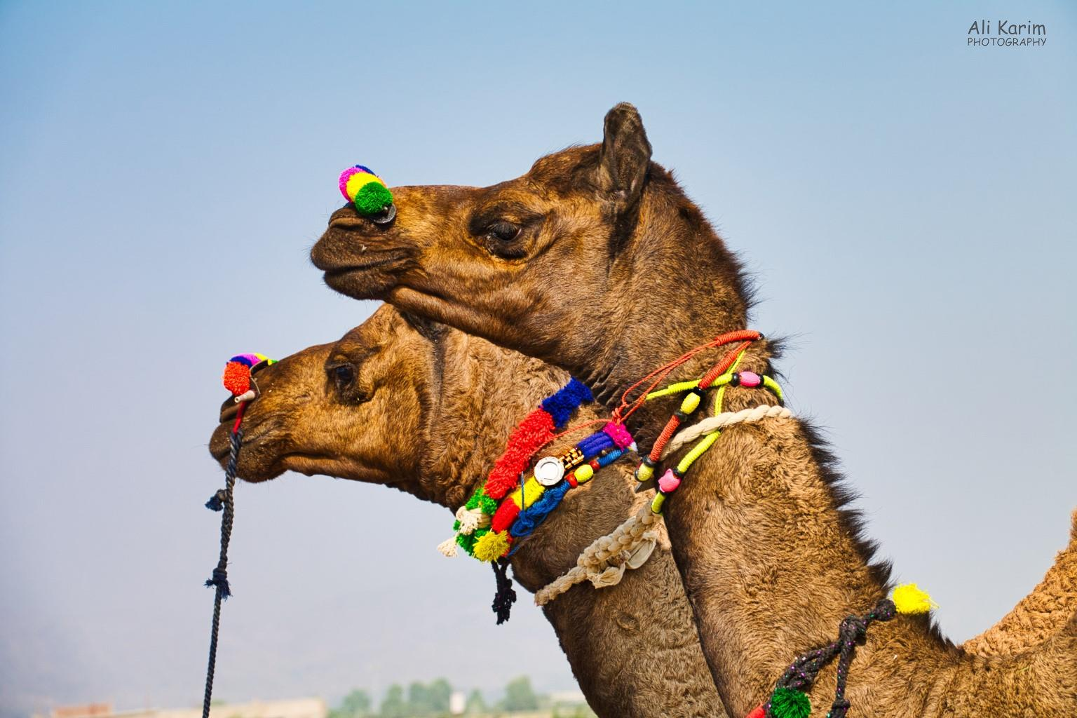 Pushkar, Rajasthan Adorned camels for sale