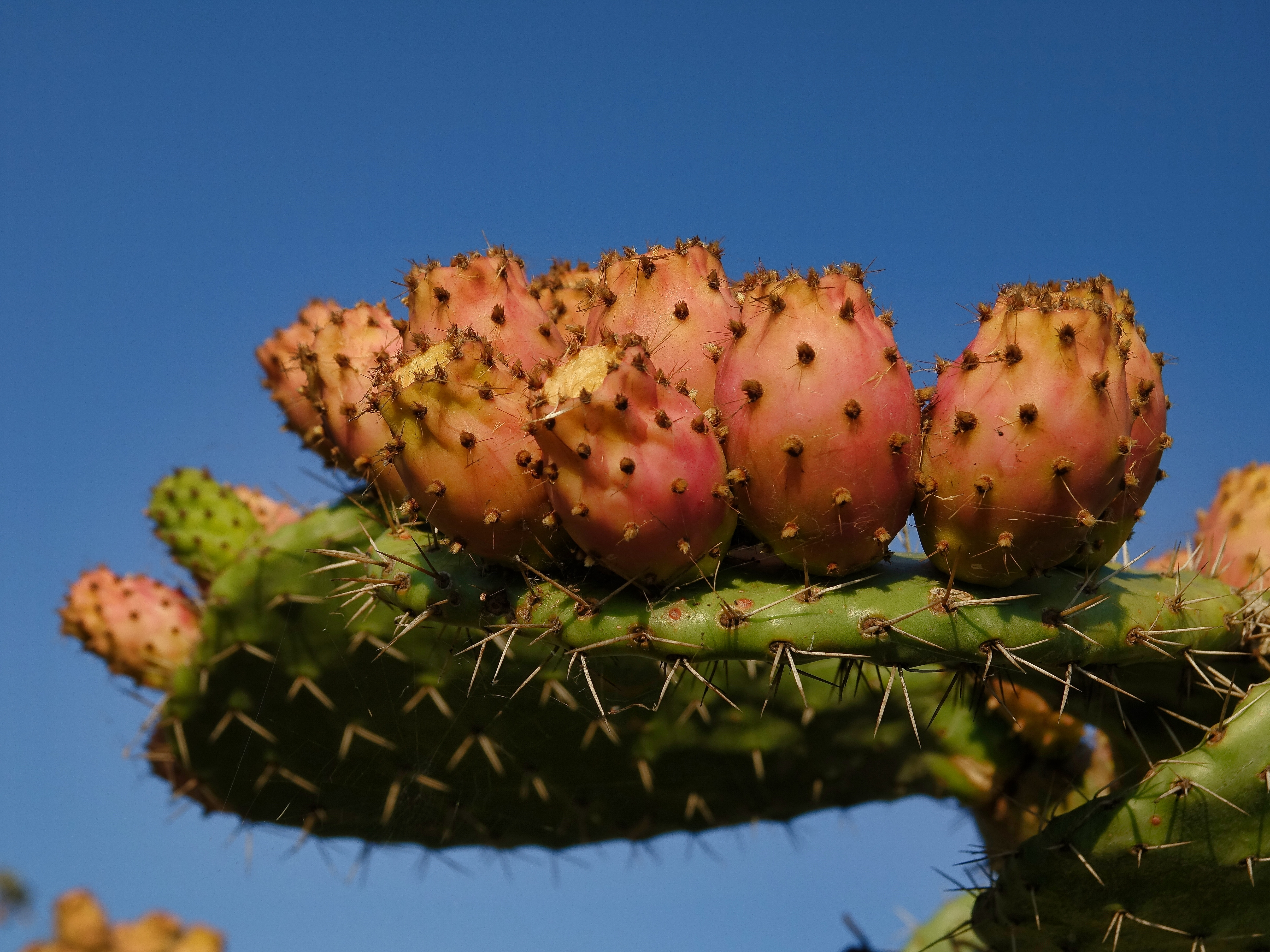 Prickly pears ripening