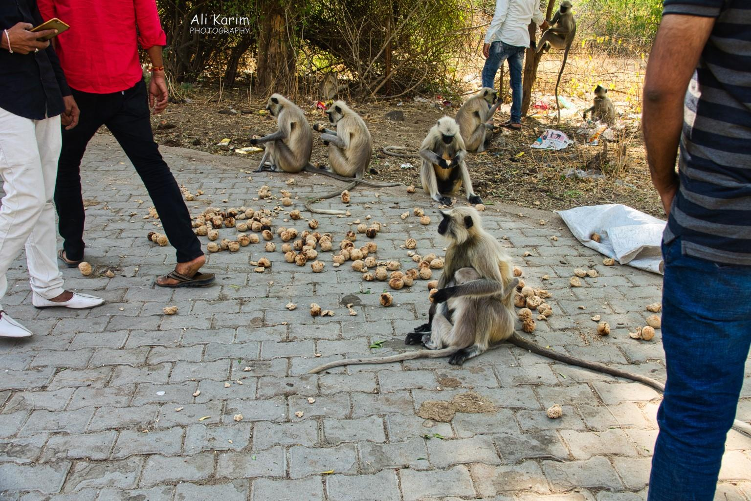Leopards, Bera, Rajasthan Local wild monkeys begin fed Baati every afternoon by locals at the dam