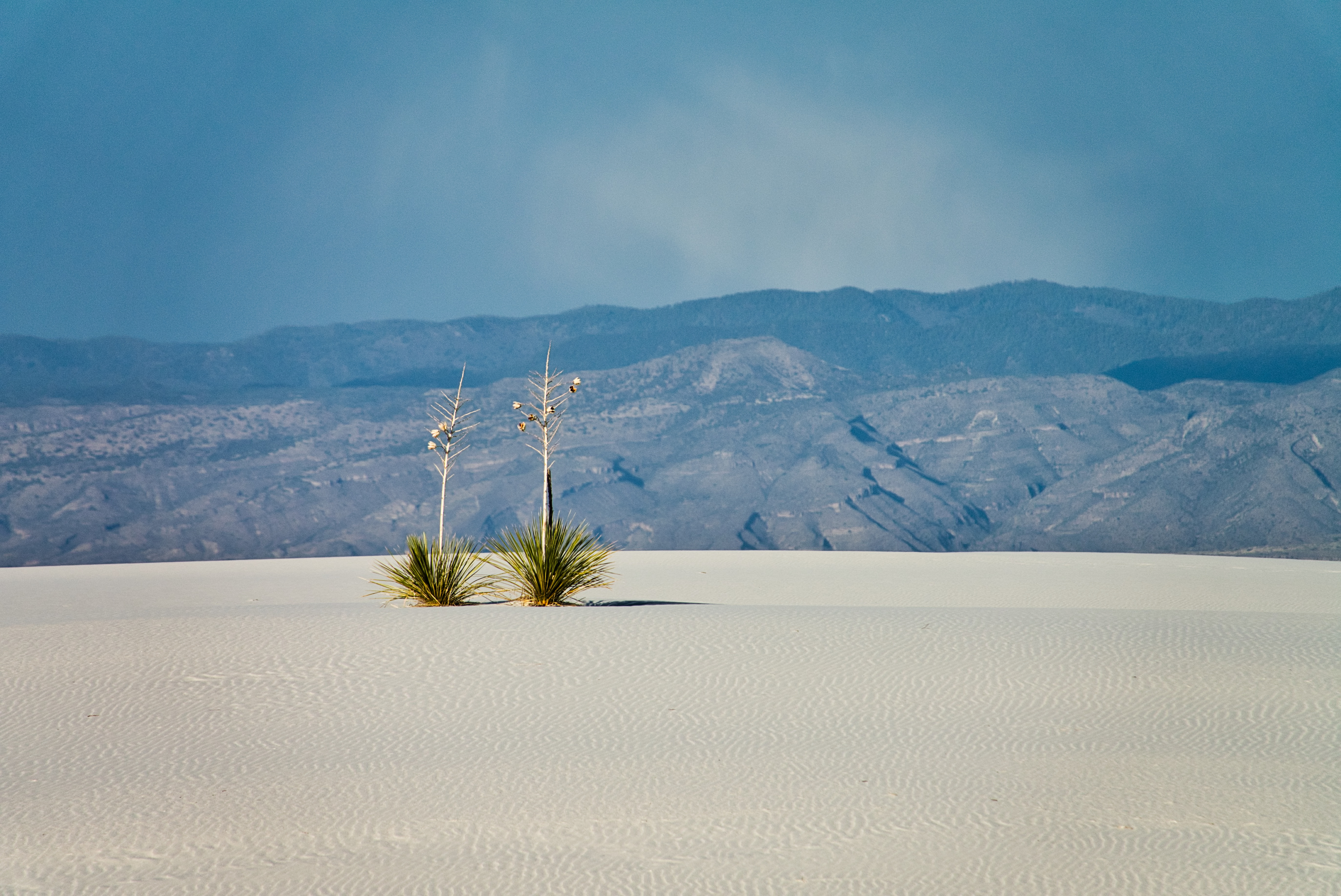 Lonely Yucca plants