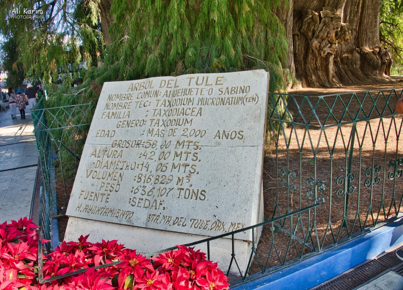 Oaxaca, Mexico Arbor del Tule stats
